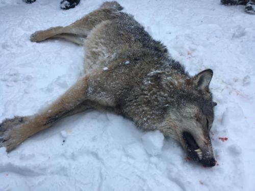 wolf hunt 01/2019